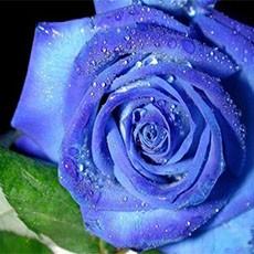 Уход за долгосвежими розами